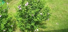 How to Relocate a Rose of Sharon Bush or Tree While Protecting the Roots | eHow