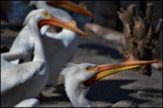 American White Pelicans. USFWS Bear River Migratory Bird Refuge, Utah. Photo: Jennifer Bunker