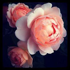 """Ambridge"" Rose from David Austin Roses. Amazing Flowers, Beautiful Roses, Pink Flowers, Beautiful Flowers, Peony Flower, Flower Art, Flower Vases, Small Flower Gardens, David Austin Roses"