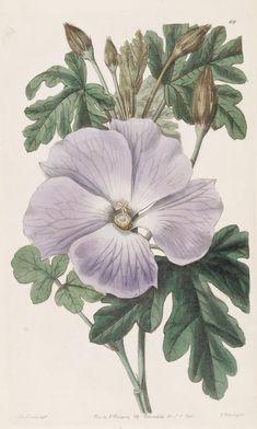 Mrs. Wray's Hibiscus. Edwards's botanical register. v.26  London :James Ridgway,1829-1847.  Biodiversitylibrary. Biodivlibrary. BHL. Biodiversity Heritage Library