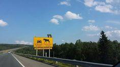 Moose crossing near Confederation Bridge to PEI