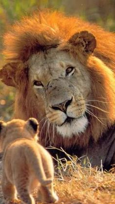 * * ONE CAN JUST SEE THE LOVE AND DELIGHT ON THE FATHER'S FACE AS HE SEES HIS CUB COME WANDERING OVER.