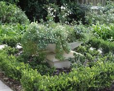A green & white city garden - Buxus, Gardenia, Star jasmines with Heliotrope & Anemones behind
