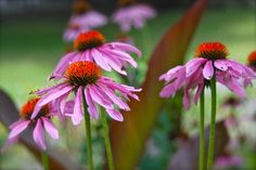 Purple coneflower (Echinacea purpurea) and the red-edged leaves of Canna 'King Humbert' in our Hill Garden this August. ~WMG