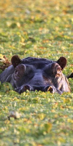 A large Serengeti Hippo. Tanzania safaris with Original Travel.