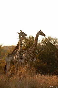 giraffes Road-trip Afrique du Sud - le parc Kruger, de Skukuza à Skukuza Les Continents, Out Of Africa, Game Reserve, Parcs, African Safari, Idem, Africa Travel, Cape Town, Road Trip