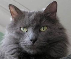 Nebelung -  It's our cat, Fluffy!