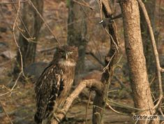 bird owl hits