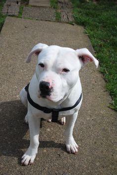 Gorgeous white pit bull!