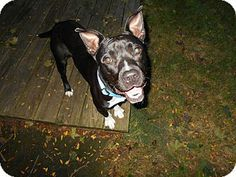 Dayton, OH - Pit Bull Terrier Mix. Meet Jacob a Dog for Adoption.