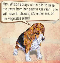 Cayenne Spray: You need to add 1 part of cayenne and 10 parts of water and spray this liquid mixture over the problem areas. Chili Powder: If you find Rover chewing up your plants, then sprinkle chili powder around your plants. This is a sure-shot deterrent for troublesome plant-chewing dogs or Sprinkle Chili powder