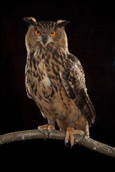 Eurasian eagle owl at the Oregon Zoo. Owl Photos, Owl Pictures, Beautiful Owl, Most Beautiful Animals, Owl Bird, Pet Birds, Nocturne, Osiris Tattoo, Tatoo Tree