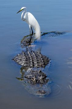 ♂ Together, nature, animal, bird & alligator or nature's carpooling