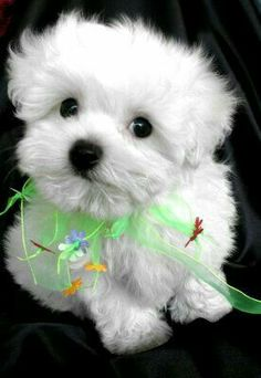 Dear Mary Hope you enjoy you weekthank you for your sweet messages.And here is this Maltese for you.Love and Blessings Ramonita. Animals And Pets, Baby Animals, Funny Animals, Cute Animals, Puppies And Kitties, Cute Puppies, Cute Dogs, Doggies, Beautiful Dogs