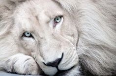 White lion. Not really a cat but he's just too beautiful not to repin!