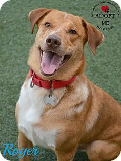 Youngwood, PA - Cattle Dog Mix. Meet Roger a Dog for Adoption.