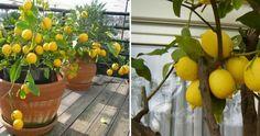 Todo lo que necesitas saber para cultivar un limonero en maceta