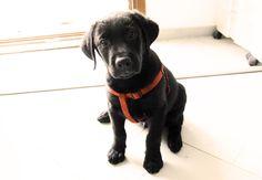 Ziggy Labrador black puppy
