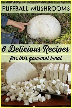 Giant Puffball Banner - Giant Puffball Banner - 6 delicious puffball recipes - you& be amazed at what fantastic meals you can create with this little-known gourmet treasure. Edible Wild Mushrooms, Garden Mushrooms, Stuffed Mushrooms, Giant Puffball Recipe, Puffball Mushroom, Growing Mushrooms At Home, Fungi, Edible Wild Plants, Vegetable Drinks
