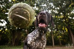 Eye on the Ball, Lola! German Shorthaired Pointer