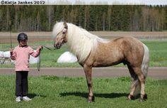Icelandic Horse - stallion Ísar frá Strandarhjáleigu