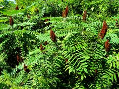 Smooth Sumac in Fruit - Great foraging tips for Sumac how to identify it, how and when to harvest it, how to use it for medicine and food...and a great Sumac lemonade recipe. Clearly identifies how to easily avoid poison sumac.