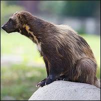 alpine predators - Google Search