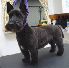 Image Result For Scottish Terrier Haircut Dog Haircuts Westie Dogs Scottie Terrier