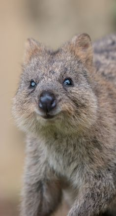 Rottnest Day Trip: Only Place In The World For That Elusive - Cutest Baby Animals Cute Wild Animals, Rare Animals, Happy Animals, Animals And Pets, Funny Animals, Quokka Baby, Quokka Animal, Australia Animals, Baby Sloth