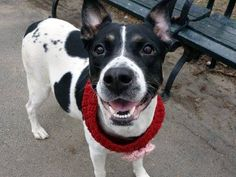 ★❥★ SAFE - 04/01/15 by Last Chance Animal Rescue.★❥★ TO BE DESTROYED - 04/01/15 Manhattan Center   My name is SULEIKA. My Animal ID # is A1031580. I am a female white and black border collie. The shelter thinks I am about 5 YEARS old.*** PREGNANT ***  I came in the shelter as a STRAY on 03/28/2015 from NY 10460, owner surrender reason stated was STRAY. https://www.facebook.com/photo.php?fbid=986300014716211