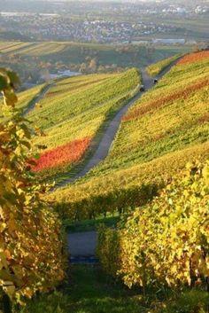 German vineyard in autumn repinned by www.gorara.com