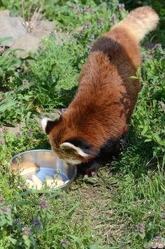 Red panda at Chausu-Yama Zoo in Nagano Prefecture, Japan