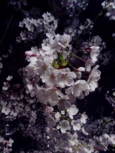 Cratalis / Autorenblog von Herbert Blaser: Nachtblütenschnee Plants, The Flowers Of Evil, Snow, Night, Nice Asses, Plant, Planting, Planets