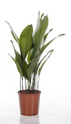Aspidistra 'Slagersplant' Large
