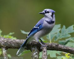 Blue Jay (photo by Jack Bartholmai)