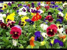 (45) Cultivo y Variedades de Flores Pensamiento - TvAgro por Juan Gonzalo Angel - YouTube