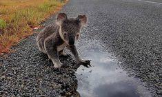 Koala Marsupial, New South, Climate Change, Ol, Sustainability, Recovery, Recycling, Australia, Earth
