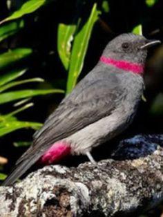 Rose-colored Piha, Lipaugus streptophorus, a cotinga: NE-S.Amer | piobrasileiro.blogspot.com.br