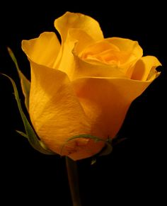 ~~ Yellow Rose ~~
