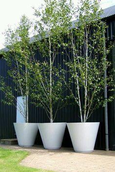 Birch Trees in Pots