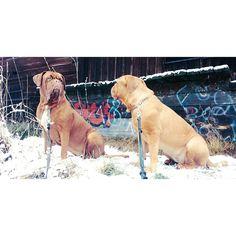 #Dog/ #bigdog, #FrenchMastiff, #DoguedeBordeaux #Dogwalking