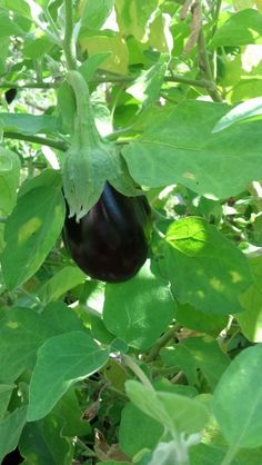 Back to the Basics!: Growing Eggplant from Seed to Harvest