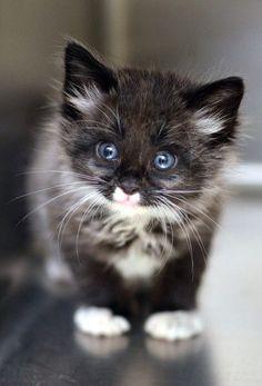 blue eyed black + white kitten | animals + pet photography #cats