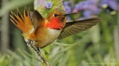 The small but feisty Rufous Hummingbird can travel several thousand miles during its migration from as far north as British Columbia to wintering grounds in Mexico. It's especially vulnerable to habitat loss along that long route--another reason ABC works to conserve geographically linked habitats north and south. https://abcbirds.org/bird/rufous-hummingbird/