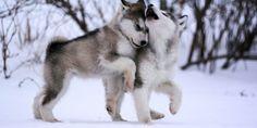Nguồn gốc tính cách và cách chăm sóc giống chó Alaska siêu kute