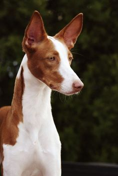 Ibizan Hound dog art portraits, photographs, information and just plain fun. Also see how artist Kline draws his dog art from only words at drawDOGS.com #drawDOGS http://drawdogs.com/product/dog-art/ibizan-hound-dog-portrait-by-stephen-kline/ He also can add your dog's name into the lithograph.