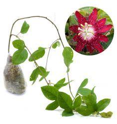 Passiflora Merah Rp 59,000
