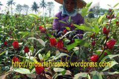 Manfaat dan Khasiat Teh Rosella (Teh Merah) Dan, Plants, Plant, Planets