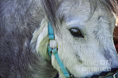 #EYE OF THE #PONY #Photography Quality Prints and Cards at:  http://kaye-menner.artistwebsites.com/featured/eye-of-the-pony-kaye-menner.html  -