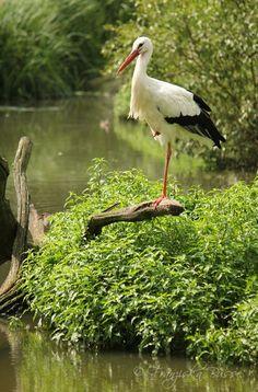 A stork rests on a fallen tree limb. Pretty Birds, Beautiful Birds, Nicolas Vanier, On Golden Pond, Pond Life, Shorebirds, Lily Pond, All Nature, Big Bird